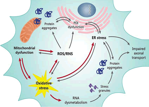"Carrì, Maria Teresa, et al. ""Oxidative stress and mitochondrial damage: importance in non-SOD1 ALS."" Frontiers in cellular neuroscience 9 (2015): 41."